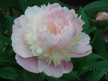 Peony of light pink with white around the center
